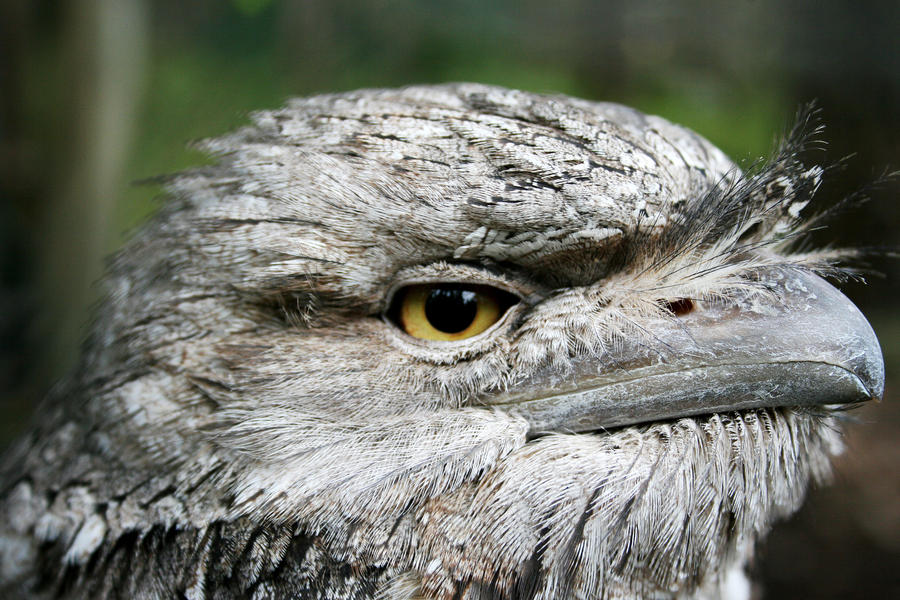 Tawny Frogmouth Owl 2 by shhhhh-art-Stock
