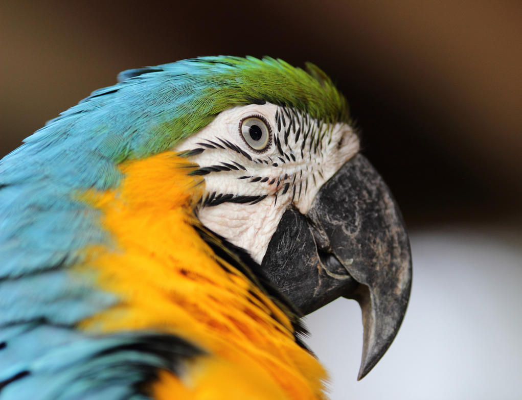 Parrot by fierrolepou