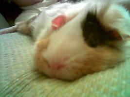 guinea pig model 2 by ohebi
