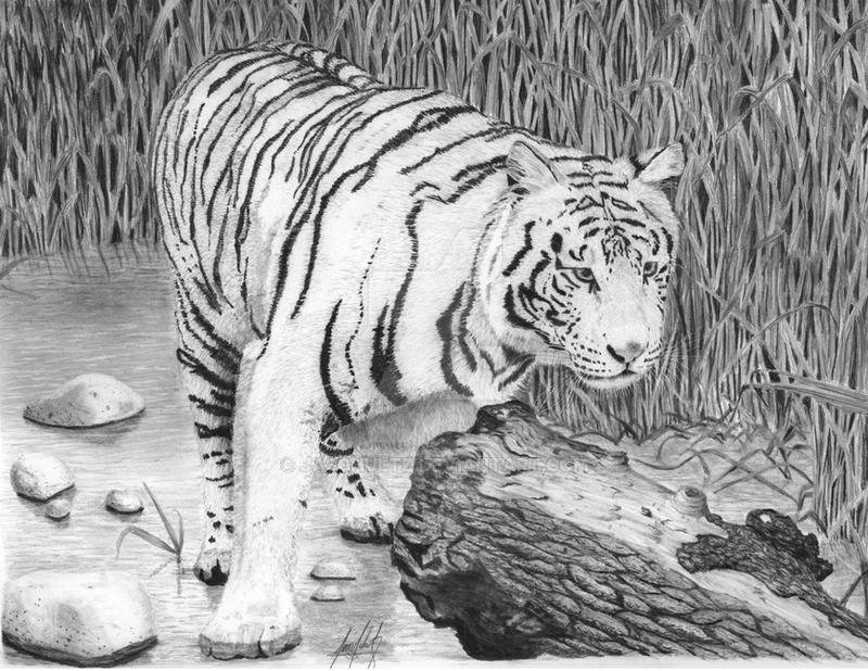 White Tiger In Reeds Hyperrealistic Drawing By Jaschultz On Deviantart
