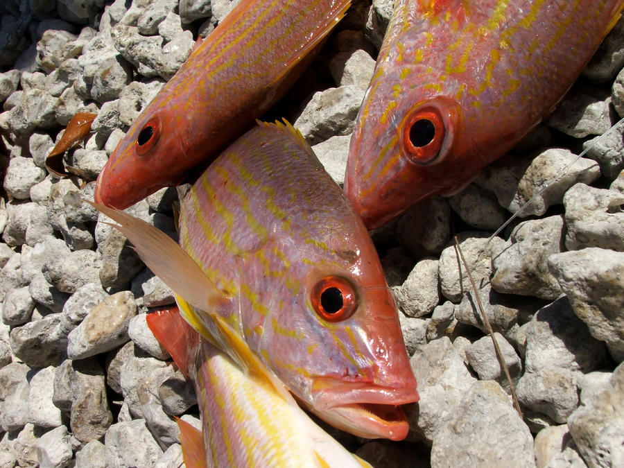 Fresh Red Snapper fish by HammerSection