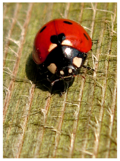 "Obrázek ""http://fc02.deviantart.com/fs13/f/2007/092/f/9/The_Ladybird_by_XxXBiancaXxX.jpg"" nelze zobrazit, protože obsahuje chyby."