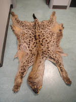 Asha the hyena pelt by pookyhorse