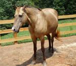 Rocky Mountain horse stock