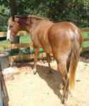 Rocky Mountain horse stock 2