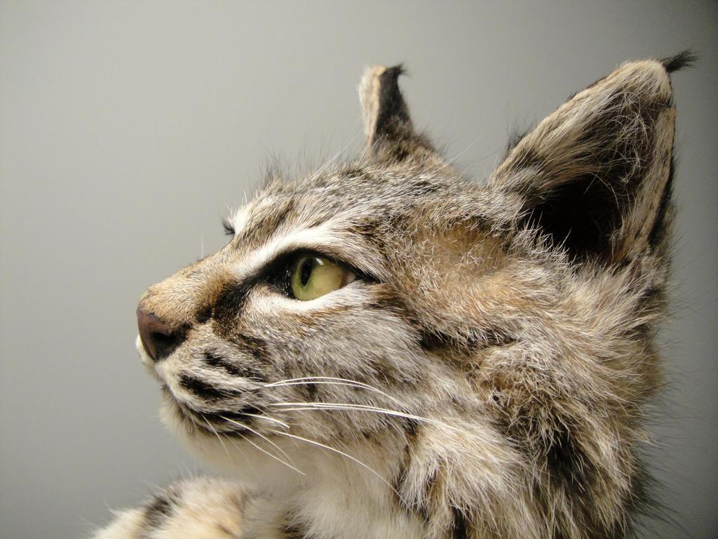 Bobcat pet - photo#9