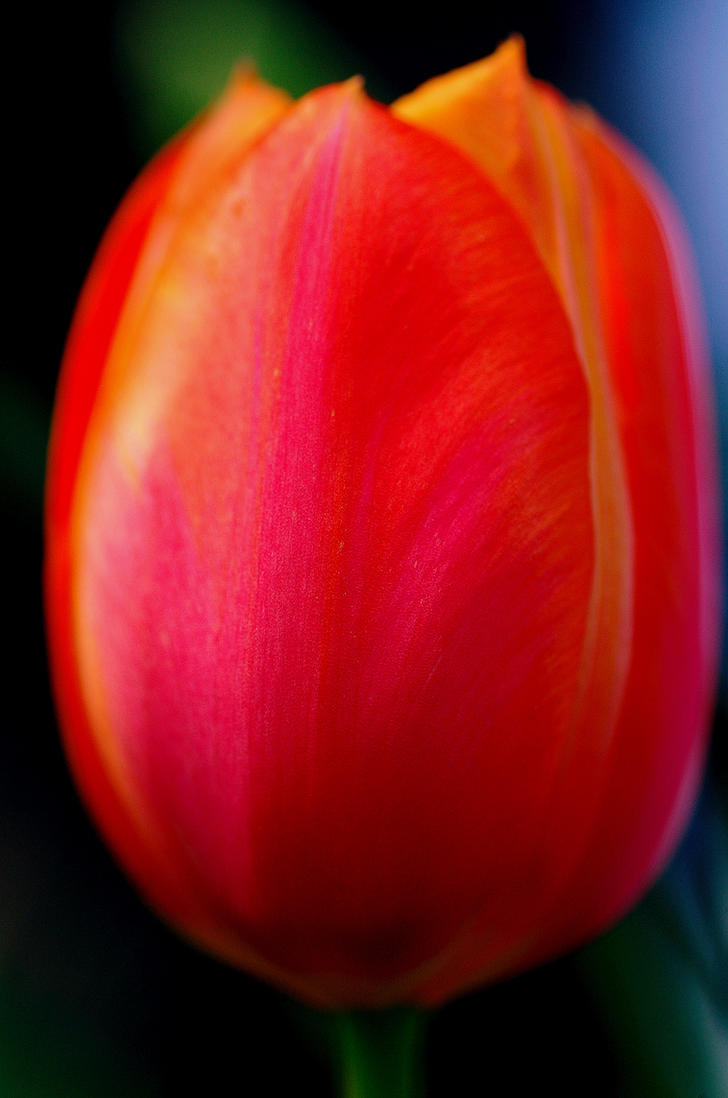 Tulip Age by Izsrc