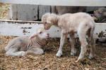 Lormet-Farm-Animal-0642sml