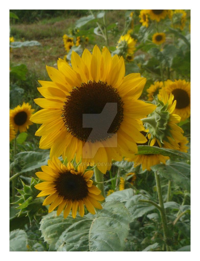 Sea of Sunflowers by SavageFrog