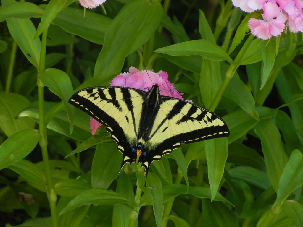 Western Tiger Swallowtail by Friendlyfoxpal