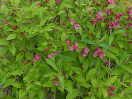 My Flowering Bush by euphoricallydead