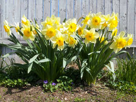 Daffodils [1600x1200]
