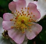 Wild Rose Of Spring