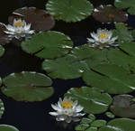 White Water Lilies Of Rieve's Pond