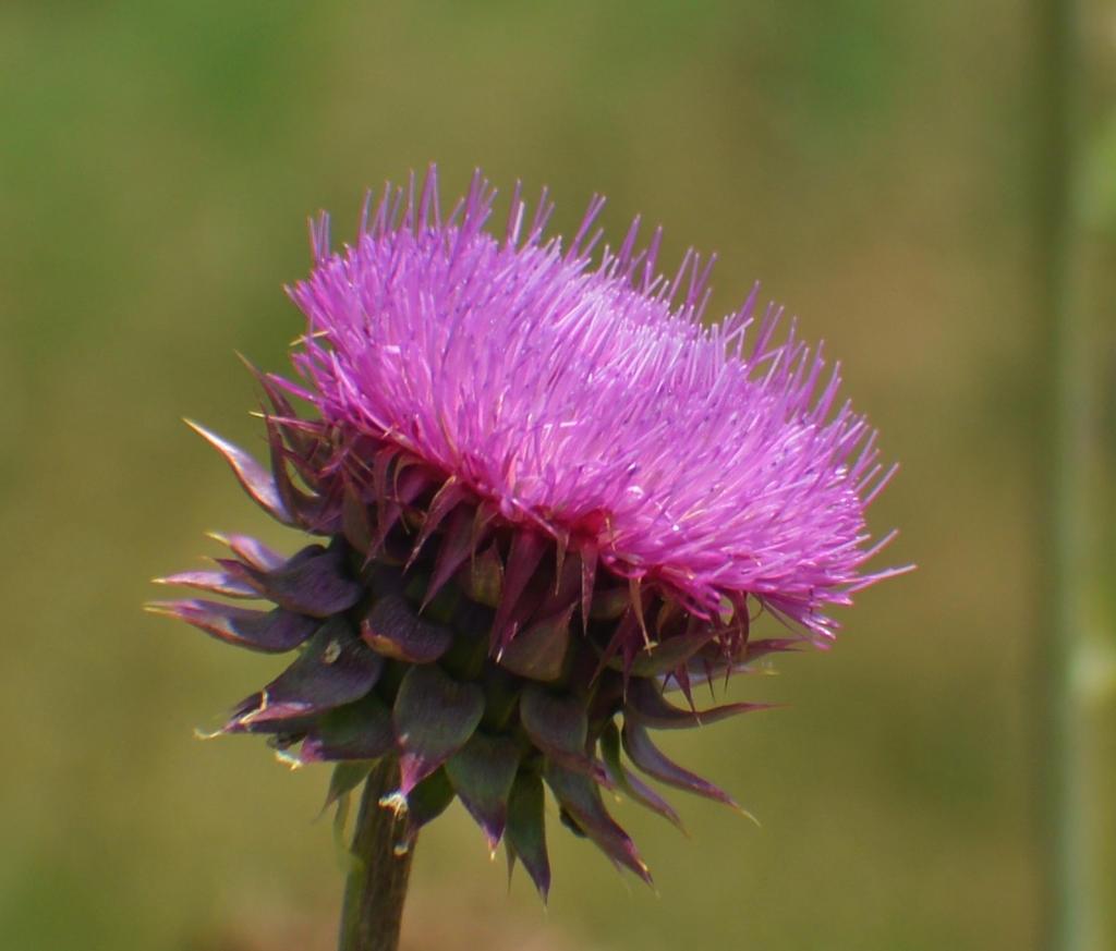 Pink Thistle by Matthew-Beziat