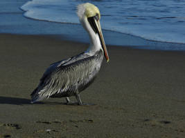 The Brown Pelican by Matthew-Beziat
