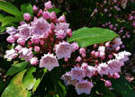Mountain Laurel 2015