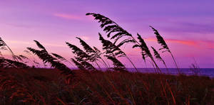 Evening Sea Oats Scene 2016