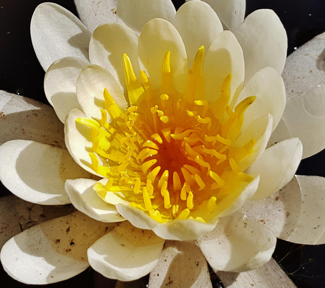 White And Yellow Water Lily 2016 By Matthew Beziat On Deviantart