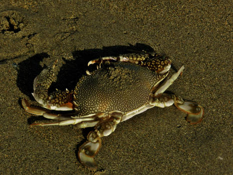 Florida Speckled Crab