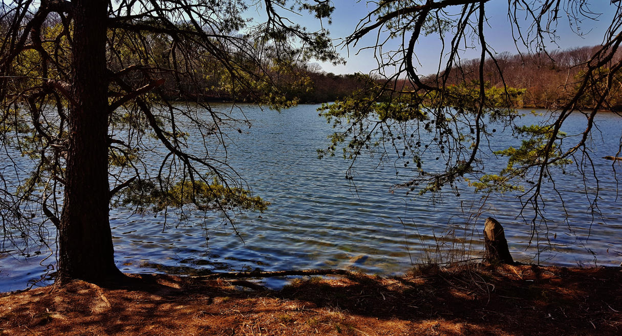 Pine Trees At Deep Pond by Matthew-Beziat