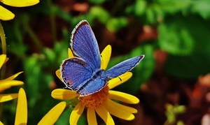 Blue Butterfly 2017 by Matthew-Beziat