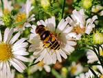 Transverse Flower Fly 2018 by Matthew-Beziat