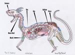 Toci1 - Anatomy