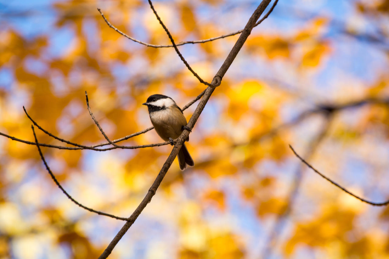 Black-Capped Chickadee by Maxfusion6
