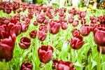 Burgundy Tulips by samshadows