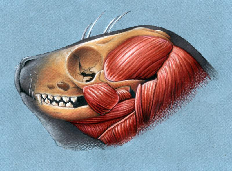 http://fc07.deviantart.net/fs71/f/2012/026/f/b/harbor_seal_head_anatomy_by_xfkirsten-d4nq4r3.jpg