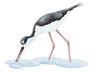 Black-Necked Stilt by xfkirsten