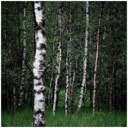 Katrin's Birches