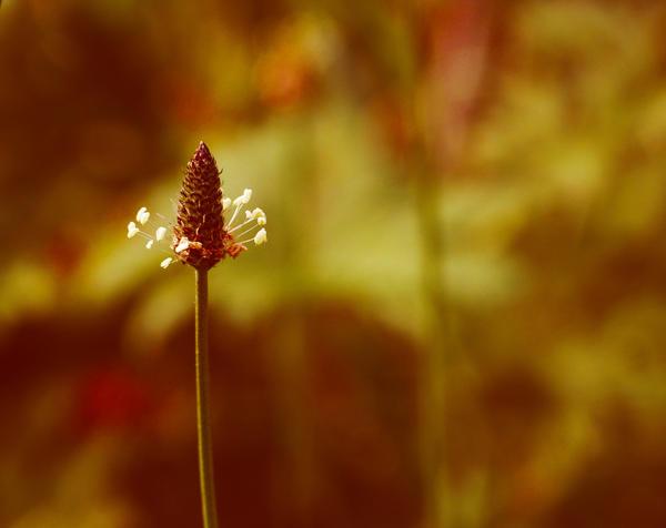 Plantago by OanaLicious