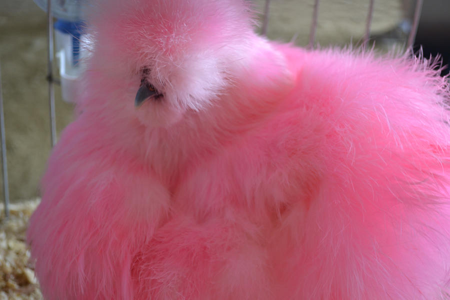Oct 15, · Pink Meat The color of cooked chicken is not a sign of its safety. Only by using a food thermometer can one accurately determine that chicken has reached a safe minimum internal temperature of °F throughout.