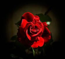 One Red Rose by DarkBorder