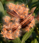 Oleandar Capule Seed 3