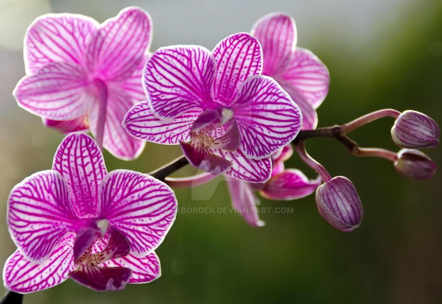 Orhideje 3 by DarkBorder