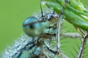 Platycnemis pennipes by SBartek