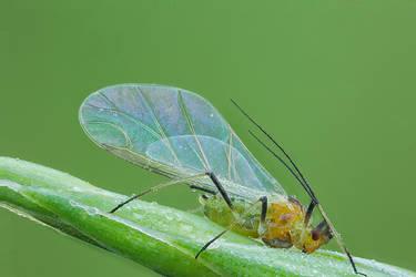 Greenfly by SBartek