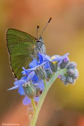 Callophrys rubi by SBartek