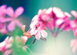 pink fragrance