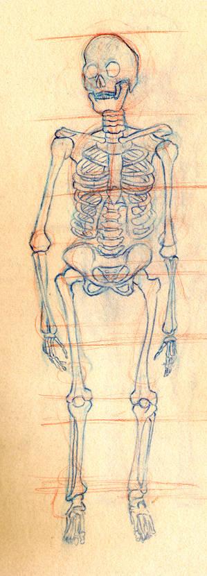 Skeleton Study - Front