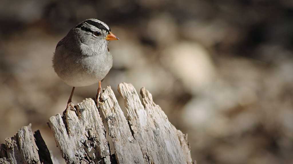 White-Crowned Sparrow by DBoydPhotography
