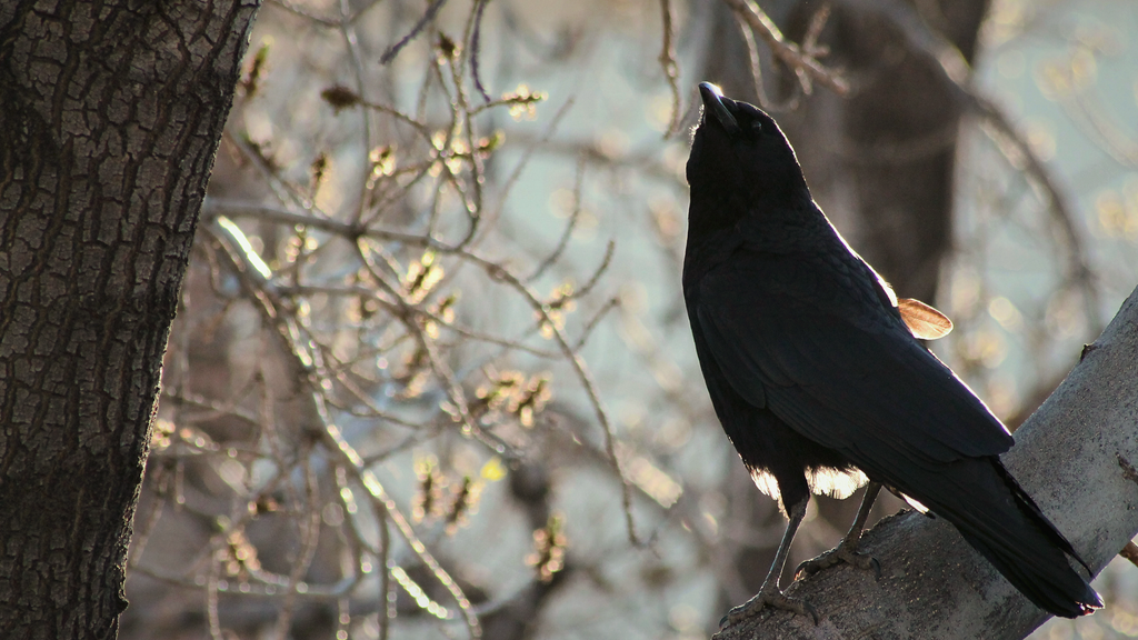 Crow at Dawn by DBoydPhotography