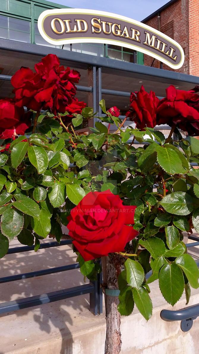 Rose at Sugar Mill by Muffyn-Man