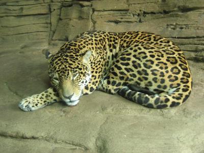 Sleeping Leopard by SerendipityStock