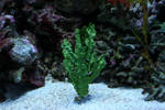 Green Coral Plant