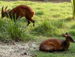 Barking Deer-2