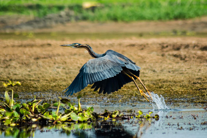 Purple Heron. by DebasishPhotos